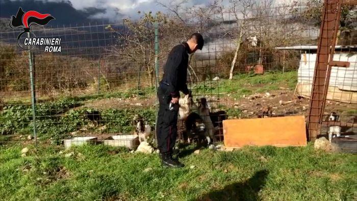 I cani salvati dai Carabinieri le armi e i collari elettrici sequestrati  (3)