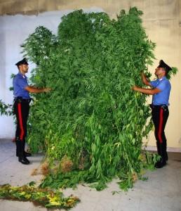 Piante di marijuana sequestrate dai Carabinieri