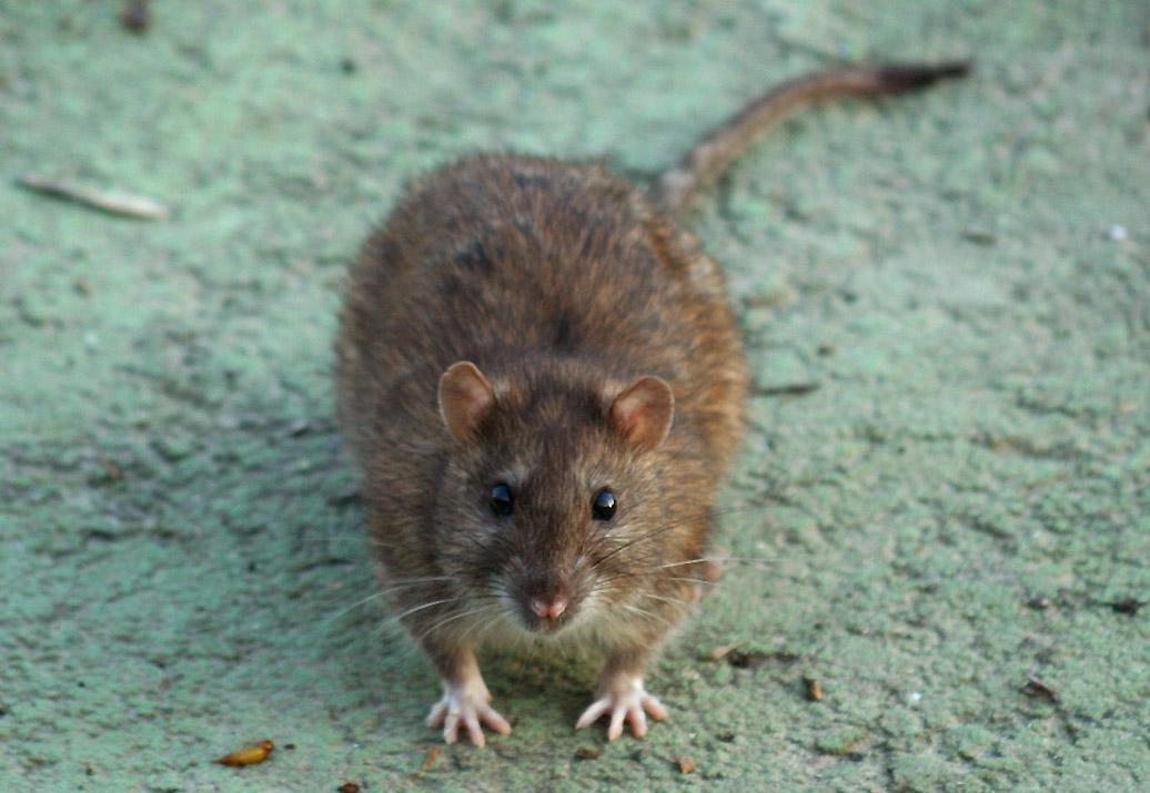 Febbre del topo cos'è