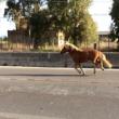 pontina-cavalli