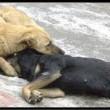 cane-avvelenato