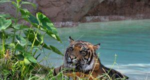 Kasih, maschio di tigre di Sumatra, emerge dall'acqua dopo un bagno nella piscina naturale