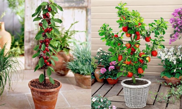 Alberi da fiore in vaso ideali anche per interno - Vaso da interno ...
