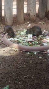 Ratti al Bioparco