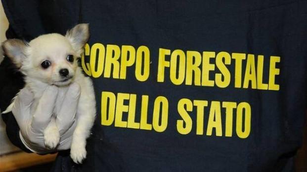 Latina Traffico E Vendita Illegale Di Cuccioli Sequestrati 50 Cani