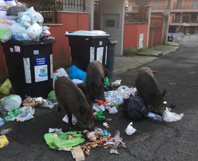 Roma cinghiali tra i rifiuti nel quartiere della Sindaca Raggi