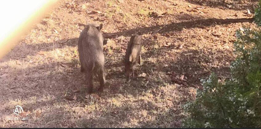 Roma    cuccioli di cinghiale aggrediti con una balestra    è caccia al responsabile