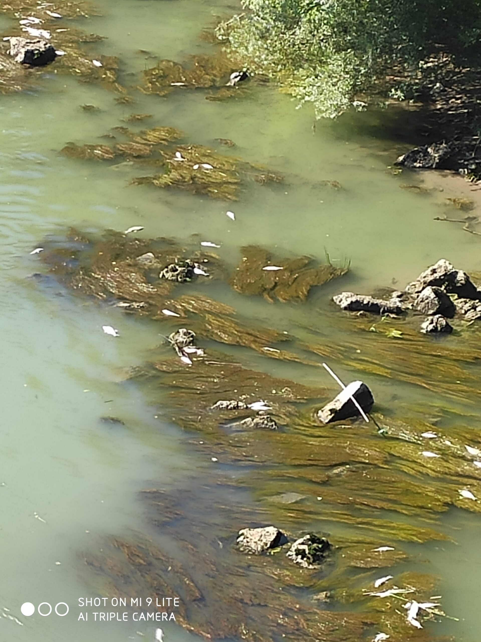 Roma, continua la moria di pesci nel Tevere (FOTO)