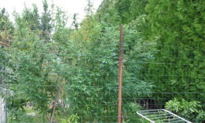 piantagione marijuana Aprilia